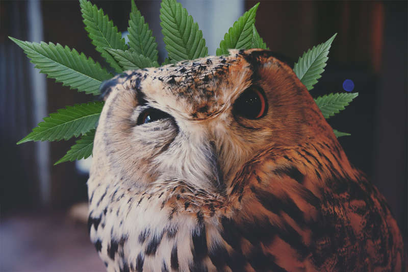 Curious Owl with Cannabis